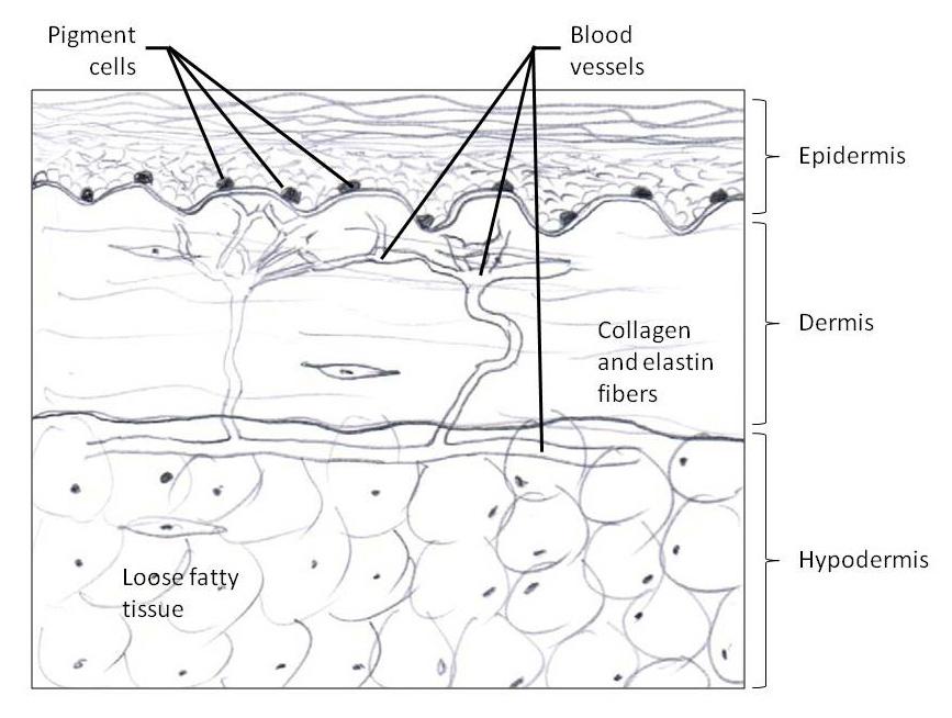 Skincare Science Skin Anatomy Nagarkar Plastic Surgery